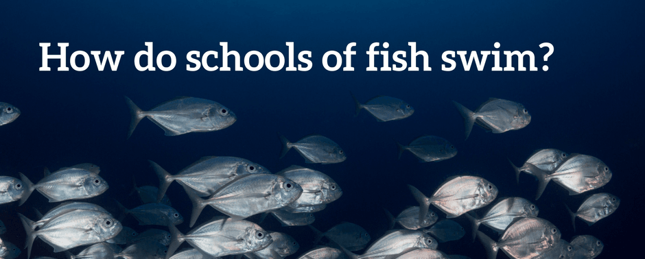 How do schools of fish swim_