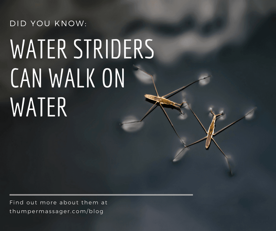 DYK: Water Striders can walk on water