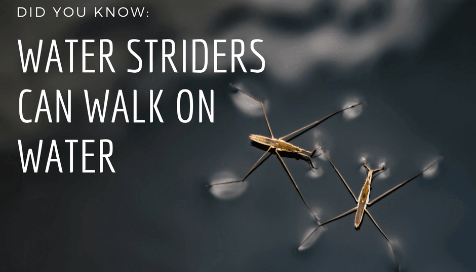 Water Striders can walk on water